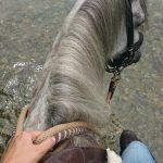 Ein Pferd für alle Fälle – Paso Fino Briosa